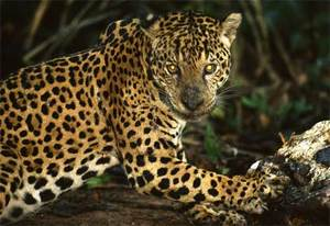 03_jaguar