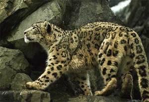 04_snowleopard